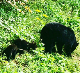 Black Bear and Cubs at Big Meadows Lodge in Shenandoah National Park
