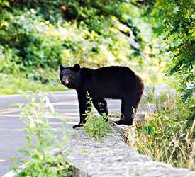 Bear on Rock Wall - Shenandoah National Park