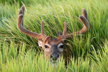 Buck in Meadow - Photo by Larry Brown
