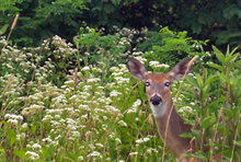 Deer with Shenandoah Wildflowers